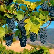 Santa Barbara Wine Tasting/Wineries